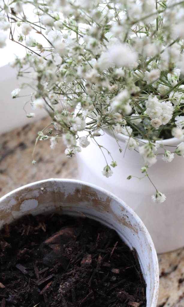 indoor plants chamomile spring farmhouse how to plant chamomile indoors