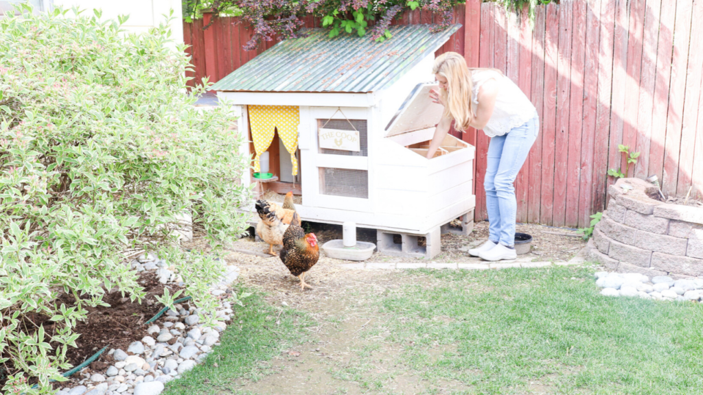 taking care of chickens at the farmhouse