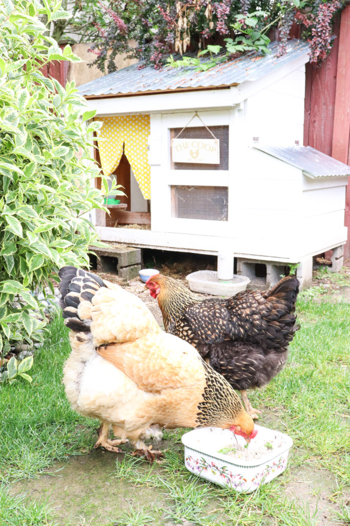 How to make best fermented chicken feed for backyard hens